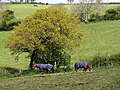 Horses beneath oak tree - geograph.org.uk - 788288.jpg