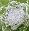 House Leek (Sempervivum arachnoideum) with protective hairs.jpg