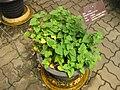 Houttuynia cordata Gardenology.org-IMG 7657 qsbg11mar.jpg