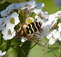 Hoverfly - Flickr - gailhampshire (8).jpg