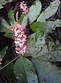 Humboldtia brunonis Wall. 19.JPG