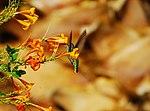 Hummingbird - Zumbador - Colibri - Sunset Park, Las Vegas (5106055407).jpg