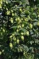Humulus lupulus female plant (02).jpg