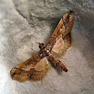 Hydririni Tribe of moths