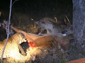 Hyenas Dominate a Leopard With a Kill Latest Wildlife Sightings HD 4.png