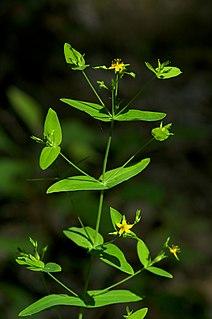<i>Hypericum mutilum</i> species of plant