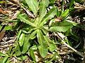 Hypochaeris radicata rosette4 (14609597536).jpg