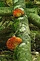 Hypomyces aurantius 625663.jpg