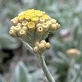 IMG 5960-Helichrysum sp.jpg