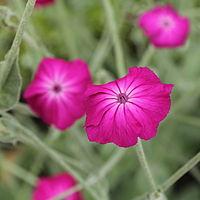Silene coronaria, purpurklätt