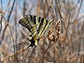 Iberian Scarce Swallowtail (Iphiclides feisthamelii) 02.jpg