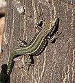 Iberian Wall Lizard - Flickr - gailhampshire.jpg