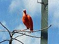 Ibis rouge (2363960370).jpg