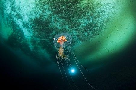Diplulmaris antarctica jellyfish in Antarctica