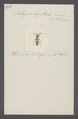 Ichthyodes - Print - Iconographia Zoologica - Special Collections University of Amsterdam - UBAINV0274 034 13 0003.tif