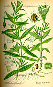 Illustration Gratiola officinalis0.jpg