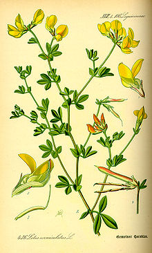Illustration Lotus corniculatus0.jpg