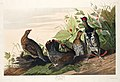 Illustration from Birds of America (1827) by John James Audubon, digitally enhanced by rawpixel-com 176.jpg