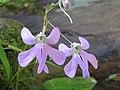 Impatiens scapiflora -Leafless-Stem Balsam from Parambikulam (1).jpg
