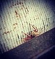 India spider.jpg