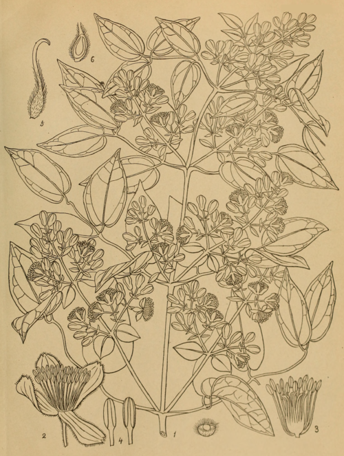 Indian Medicinal Plants - Plate 3 - Clematis gouriana.png