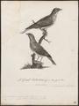 Indicator variegatus - 1796-1808 - Print - Iconographia Zoologica - Special Collections University of Amsterdam - UBA01 IZ18800291.tif
