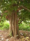 Inocarpus edulis