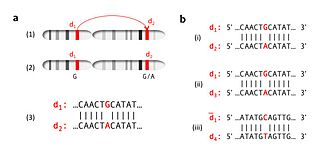 Gene cluster - Intrachromosomal duplication is the duplication of genes within the same chromosome over the course of evolution (a-1). Mutations may occur in the duplicated copy, such as observed with the substitution of Guanine with Adenine (a-2). Alignment of DNA sequences exhibits homology between the two chromosomes (a-3). All segments were duplicated from the same ancestral DNA sequence as observed by the comparisons in b(i-iii).