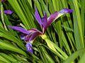 Iridaceae - Iris graminea-3.JPG