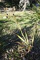Iris domestica (Belamcanda chinensis) - Quarryhill Botanical Garden - DSC03796.JPG
