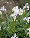 iris blanc magnifica