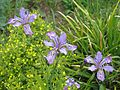 Iris milesii - Flickr - peganum (1).jpg