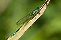 Ischnura elegans 18(loz).jpg
