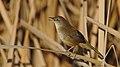 Ittle rush warbler, Bradypterus baboecala, at Marievale Nature Reserve, Gauteng, South Africa (27781838437).jpg
