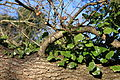 Ivy and tree, County Down (02), January 2010.JPG