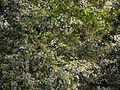 Ixora brachiata (4226856269).jpg