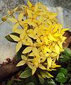 Ixora coccinea dwarf yellow.jpg
