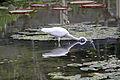 JBRJ Garça Branca Grande Pescando 02.jpg