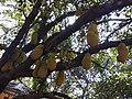 Jack fruit tree .jpg