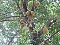 Jackfruit - തായ്തടിയിലും ശിഖിരങ്ങളിലും ചക്കൾ.JPG