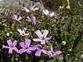 Jamesbrittenia calciphila Flipphi 1.jpg