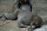 Sleeping Japanese Macaques.