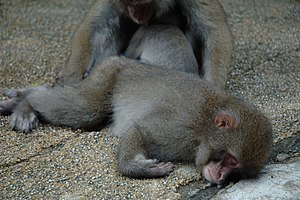 English: sleeping Japanese macaques in Kanba f...