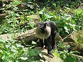 Jibea macaque lion apenheul 2016 01.jpg