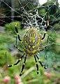 Joro Spider (6854706540).jpg