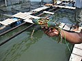 Jumbo sized crab (7567697338).jpg