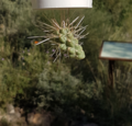 Jumping Cholla with Stem detached.png