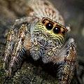 Jumping Spider - Flickr - James Niland (cropped).jpg