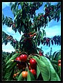 June Flower ^ Cherry Farming Endingen Kaiserstuhl - Master Seasons Rhine Valley Photography 2013 - panoramio (32).jpg