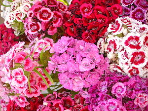 Sweet William.